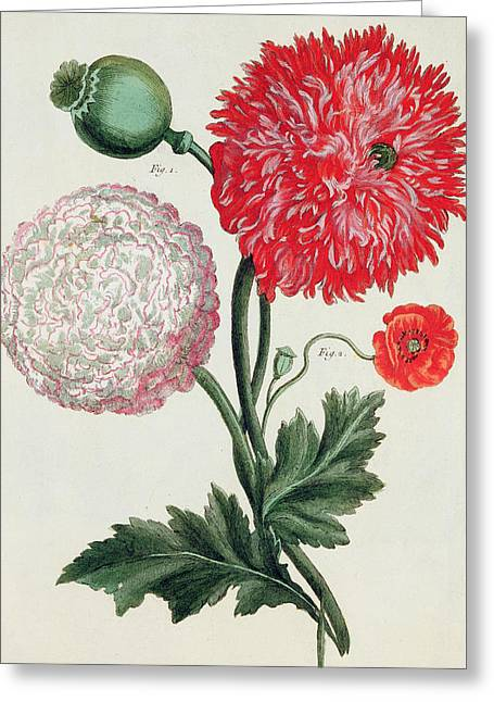 Spring Bulbs Greeting Cards - Poppy Greeting Card by Basilius Besler