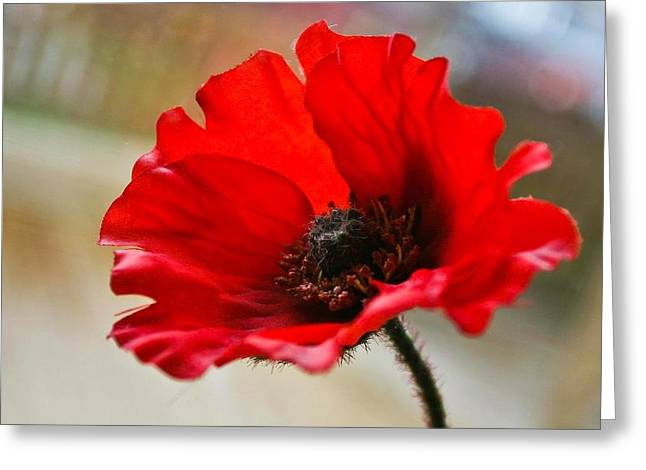 Buster Brown Greeting Cards - Poppy Greeting Card by Buster Brown