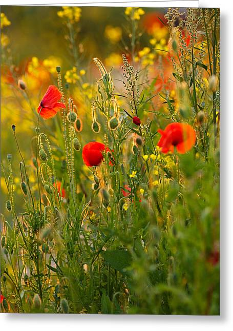 Back Photographs Greeting Cards - Poppy Delight  Greeting Card by Roeselien Raimond