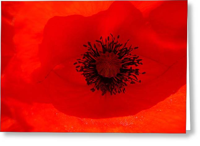Tala Greeting Cards - Poppy Diving Greeting Card by Carlos Gomes
