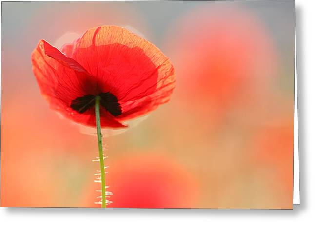 Flower Art Greeting Cards - Poppy Dream Greeting Card by Roeselien Raimond