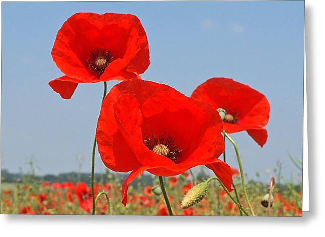 Interior Scene Greeting Cards - Poppy Fields 4 Greeting Card by Gill Billington