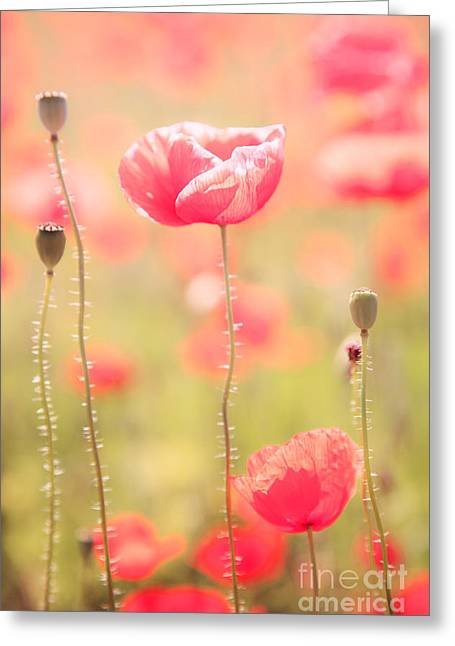 Colombos Greeting Cards - Poppy flower in spring Greeting Card by Matteo Colombo