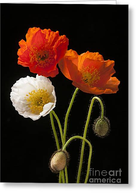Bud Greeting Cards - Poppy flowers on black Greeting Card by Elena Elisseeva