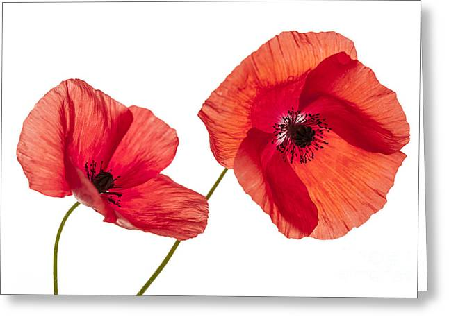 Cutouts Greeting Cards - Poppy flowers on white Greeting Card by Elena Elisseeva