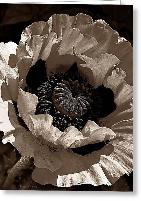 Papaver Orientale Greeting Cards - Poppy in Browns Greeting Card by Chris Berry
