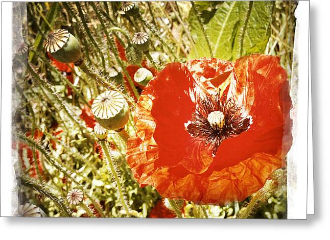 Poppy Photo Greeting Cards - Poppy Greeting Card by Les Cunliffe