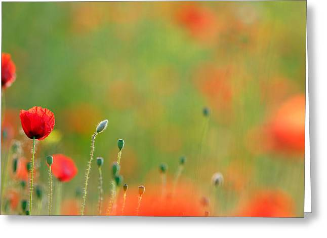 Fragility Photographs Greeting Cards - Poppy Mood Greeting Card by Roeselien Raimond