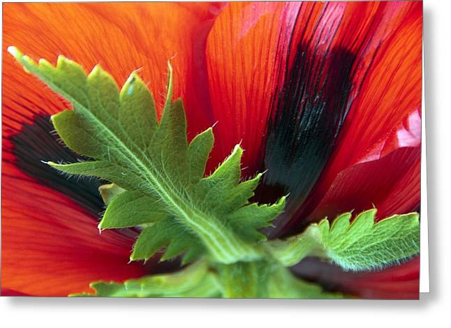 Underside Greeting Cards - Poppy (Papaver bracteatum Goliath) Greeting Card by Science Photo Library