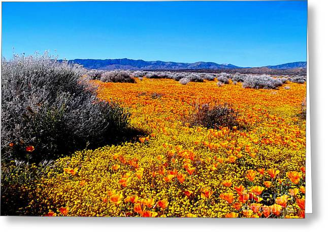 California Orange Poppy. Yellow Poppy Greeting Cards - Poppy Patch - California Greeting Card by Glenn McCarthy Art and Photography