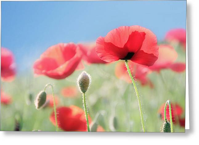 Large Flowers Greeting Cards - Red Poppies Greeting Card by Amy Tyler