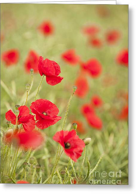 Selective Soft Focus Greeting Cards - Poppy Red Greeting Card by Anne Gilbert