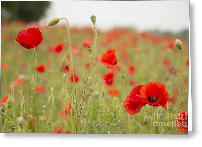 Ypres Greeting Cards - Poppy Requiem  Greeting Card by Rob Hawkins