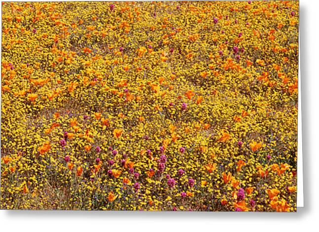 California Orange Poppy. Yellow Poppy Greeting Cards - Poppy Reserve Mojave Desert Ca Usa Greeting Card by Panoramic Images