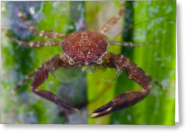 Aquatic Greeting Cards - Porcelain crab on Neptune grass Greeting Card by Science Photo Library