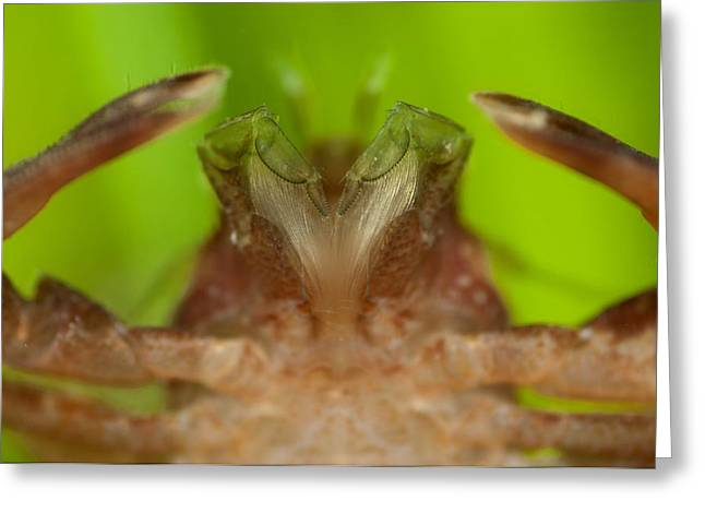 Porcelain crab Greeting Card by Science Photo Library