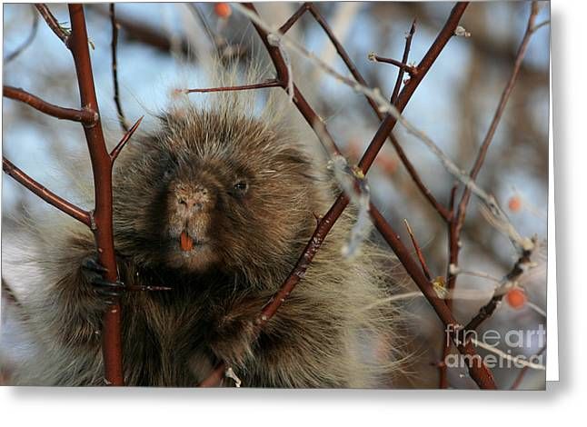 Porcupine And Berries Greeting Card by Marty Fancy