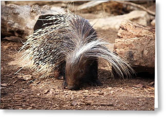 Happy Hog Greeting Cards - Porcupine Greeting Card by Jeff Tuten