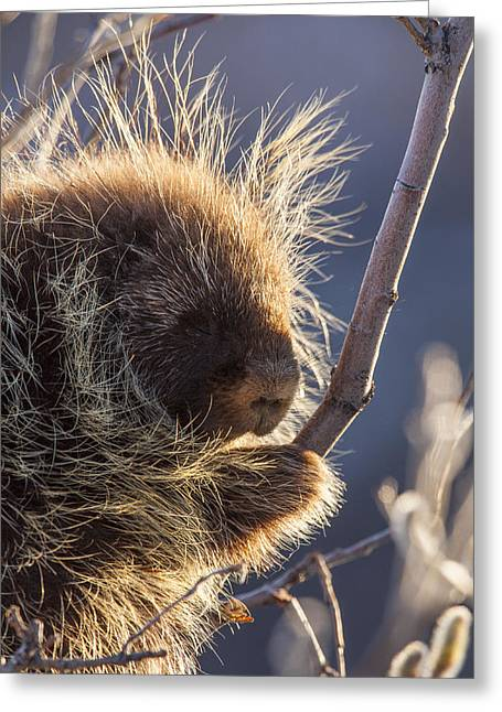 Back Lighting Greeting Cards - Porcupine Profile Greeting Card by Tim Grams
