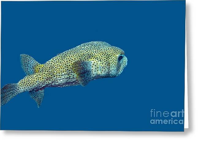 Porcupine Puffer Greeting Cards - Porcupine Pufferfish Greeting Card by Thomas Major