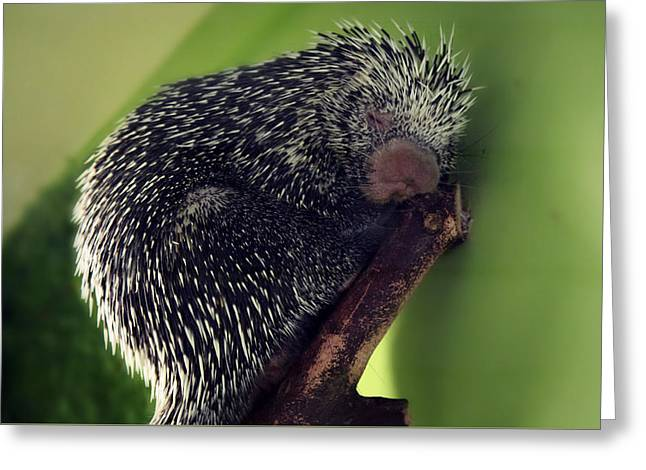 Porcupine Slumber Greeting Card by Melanie Lankford Photography