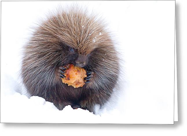 Jim Cumming Greeting Cards - Porcupine with Apple Greeting Card by Jim Cumming