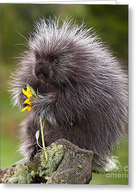 Porcupine With Arrowleaf Balsamroot Greeting Card by Jerry Fornarotto