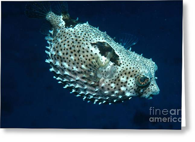 Porcupinefish Deflating Greeting Card by Gregory G. Dimijian, M.D.