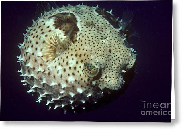 Pufferfish Greeting Cards - Porcupinefish Greeting Card by Gregory G. Dimijian