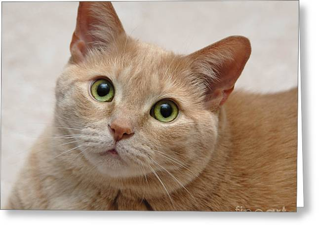 Nose Greeting Cards - Portrait - Orange Tabby Cat Greeting Card by Amy Cicconi