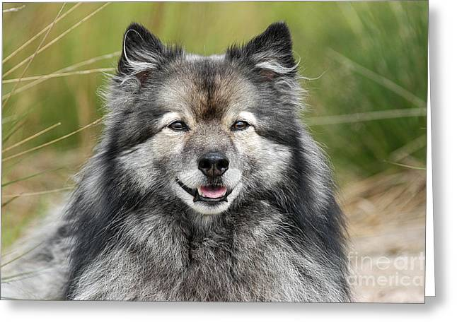Grau Greeting Cards - Portrait grey Keeshond dog Greeting Card by Dog Photos