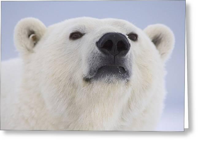 Air Born Greeting Cards - Portrait Of A Adult Polar Bear Greeting Card by Steven Kazlowski