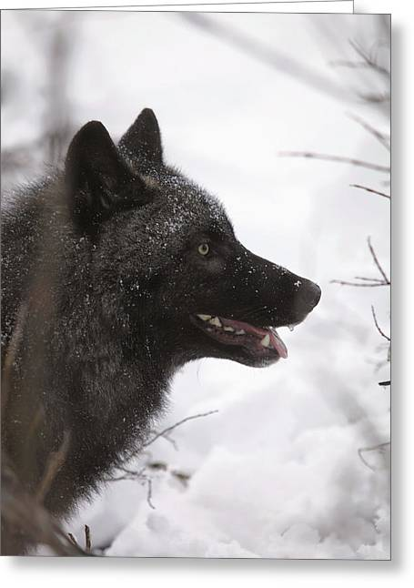 Matsu Greeting Cards - Portrait Of A Black Wolf, Eureka Pass Greeting Card by Calvin Hall