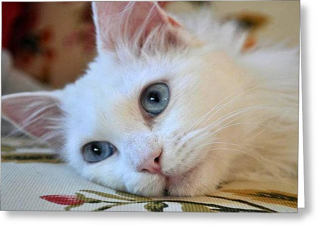 Sweetly Greeting Cards - Portrait of A Blue Eyed Van Cat Greeting Card by Tracey Harrington-Simpson