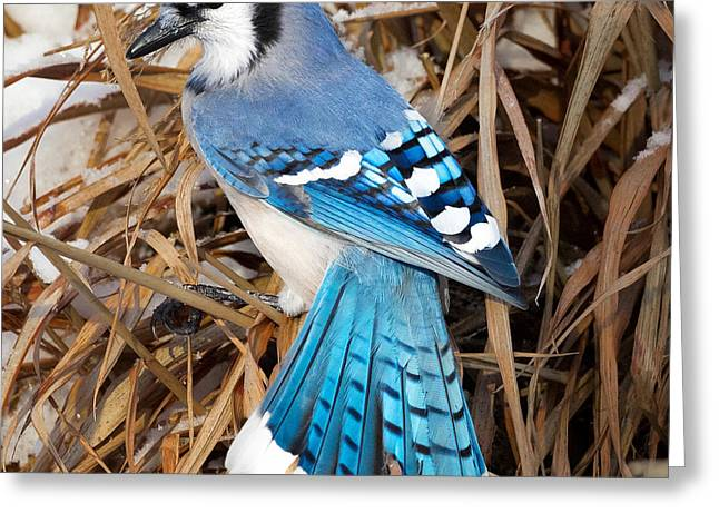 Portrait Of A Blue Jay Square Greeting Card by Bill Wakeley