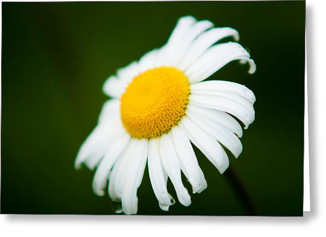 Bellis Greeting Cards - Portrait of a Daisey Greeting Card by Matt Dobson