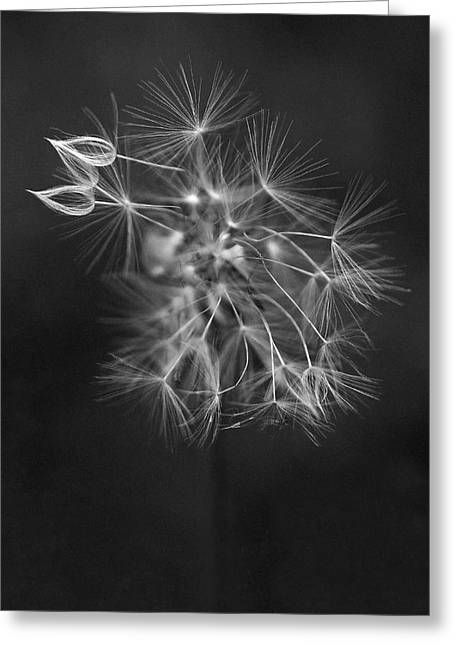 Black And White Flowers Greeting Cards - Portrait of a Dandelion Greeting Card by Rona Black