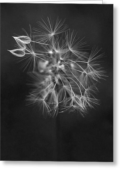 Bw Greeting Cards - Portrait of a Dandelion Greeting Card by Rona Black