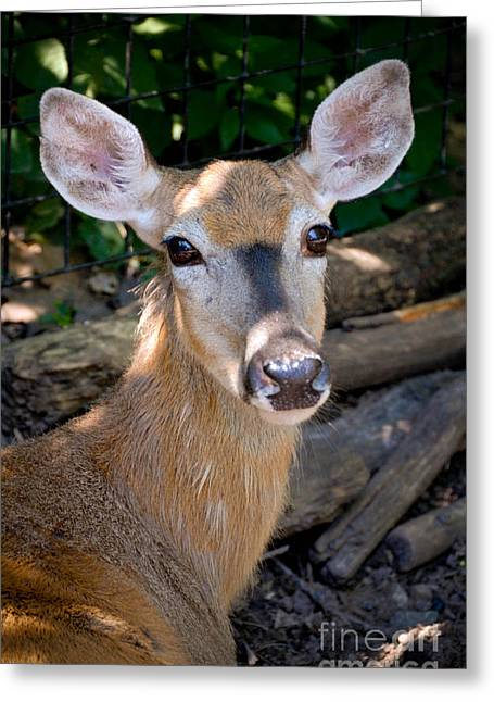 Animal Portrait Greeting Cards - Portrait of a Deer Greeting Card by Amy Cicconi