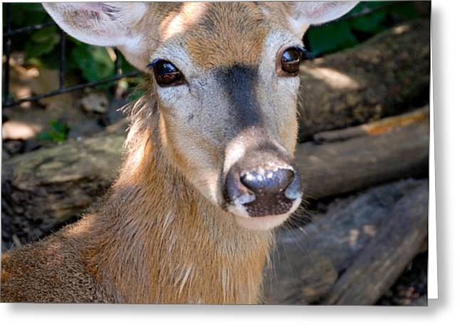 Portrait of a Deer Greeting Card by Amy Cicconi