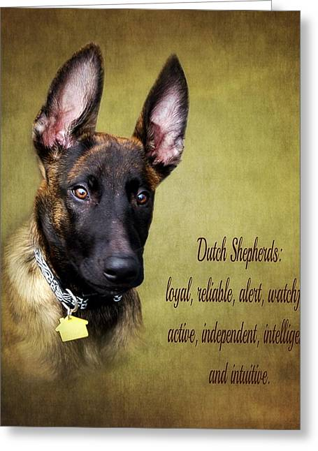 Dutch Shepherd Greeting Cards - Portrait Of A Dutch Shepherd Greeting Card by Stephanie Calhoun