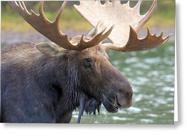 Moose In Water Greeting Cards - Portrait Of A Glacier Moose Greeting Card by Adam Jewell