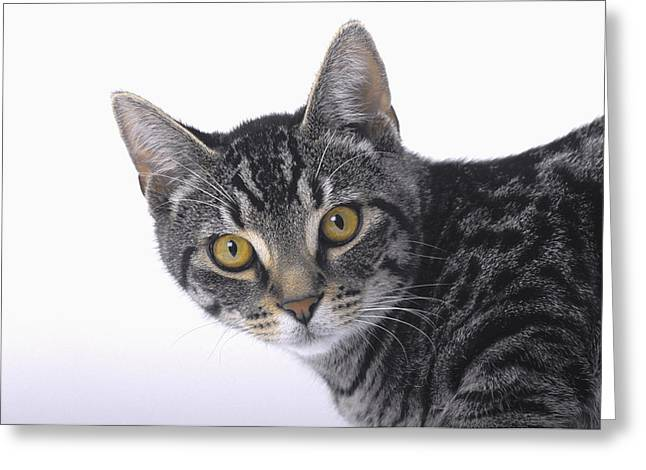 Portrait Of A Grey Tabby Catvancouver Greeting Card by Thomas Kitchin & Victoria Hurst