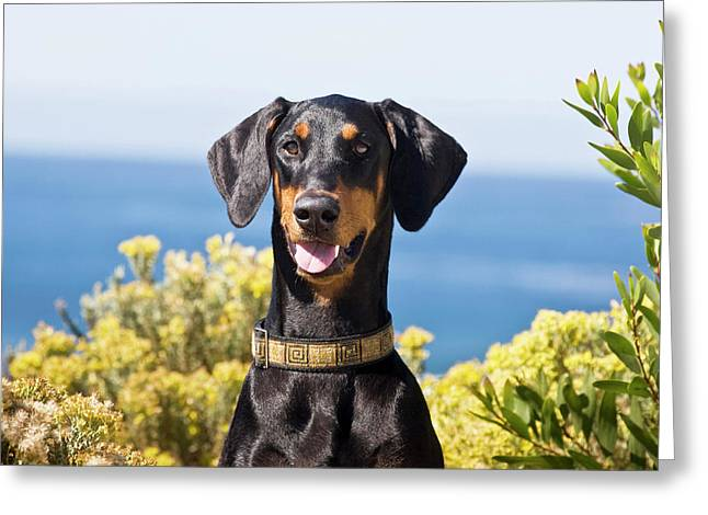 Portrait Of A Happy Doberman Greeting Card by Zandria Muench Beraldo
