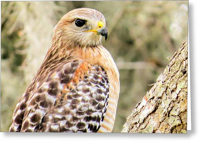 Animals Photographs Greeting Cards - Portrait of a hawk Greeting Card by Zina Stromberg