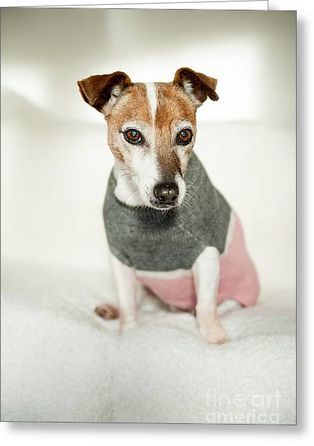 Dog Sweaters Greeting Cards - Portrait of a Jack Russell Terrier wearing a winter sweater Greeting Card by Li Kim Goh