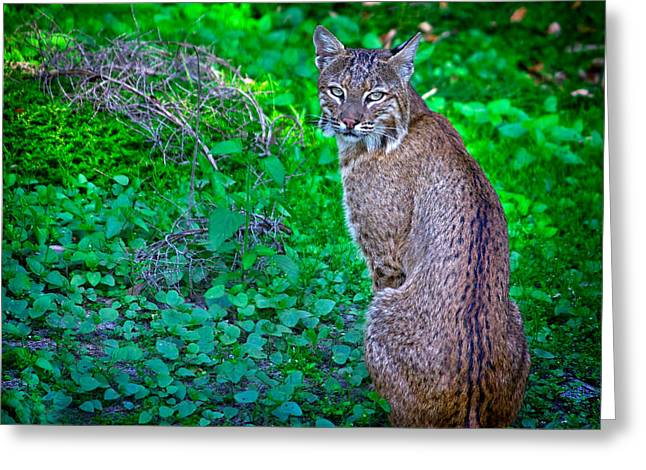 Female Bobcat Greeting Cards - Female Bobcat Greeting Card by Mark Andrew Thomas