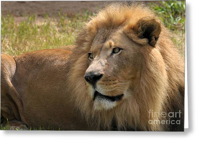 Cats Photographs Greeting Cards - Portrait Of A Lion Greeting Card by Dan Holm