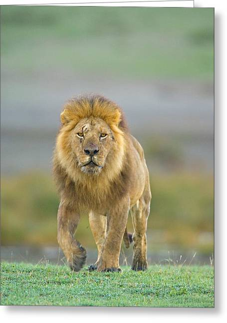 Urban Lion Greeting Cards - Portrait Of A Lion Walking In A Field Greeting Card by Panoramic Images