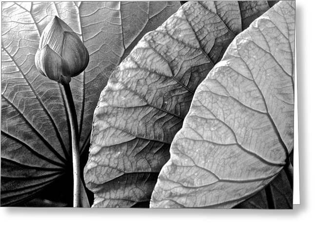 Lotus Full Bloom Greeting Cards - Portrait of a Lotus - 6 Greeting Card by Larry Knipfing